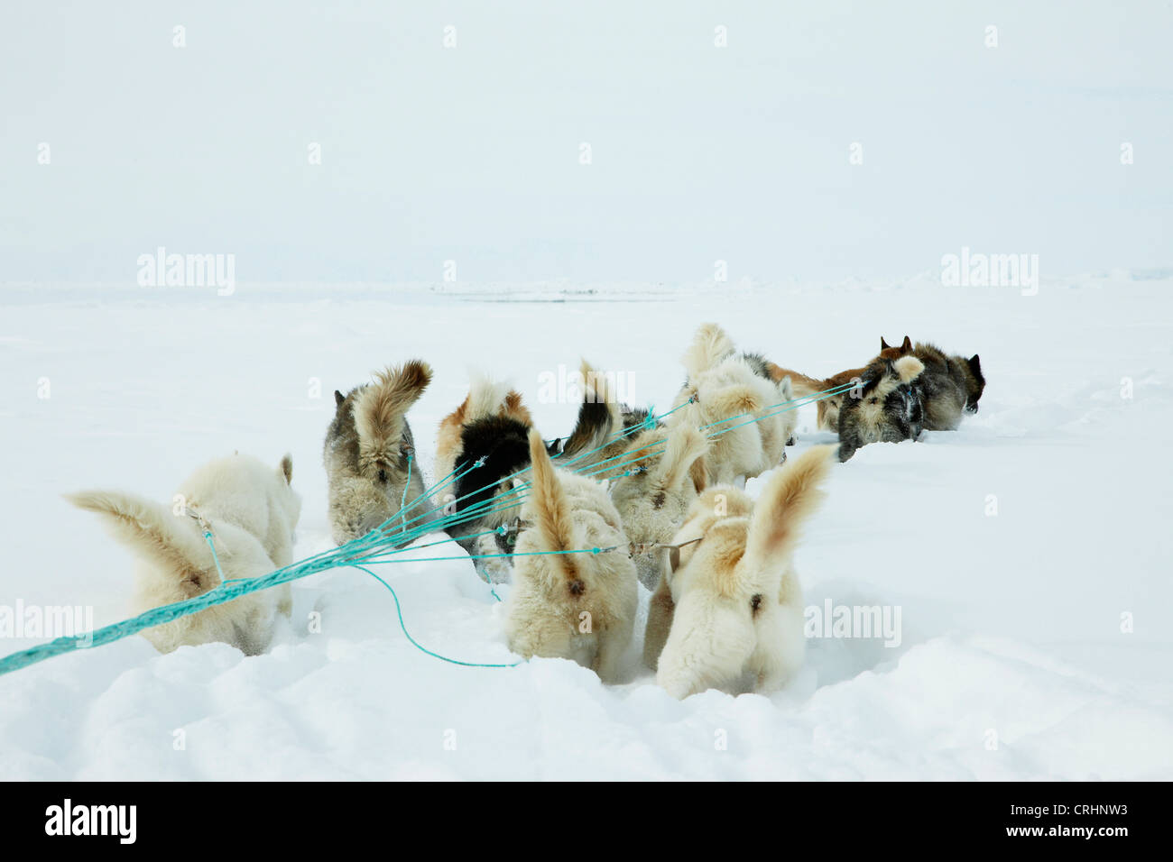 Greenland Dog (Canis lupus f. familiaris), sledge dogs pulling the sledge, Greenland, Ostgroenland, Tunu, Kalaallit - Stock Image