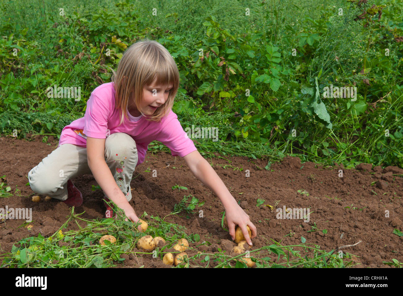 small girl havesting potatoes on an acre, Germany, Saarland - Stock Image