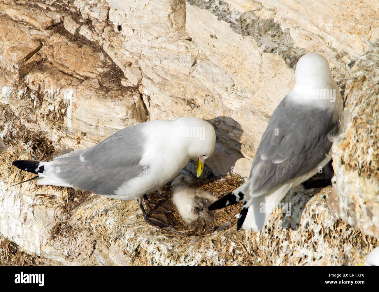 CHICK MORTALITY PARENT LOOKS DOWN INTO THE NEST AT ITS DEAD CHICK. KITTIWAKES. Rissa tridactyla Mouette tridactyle. - Stock Image