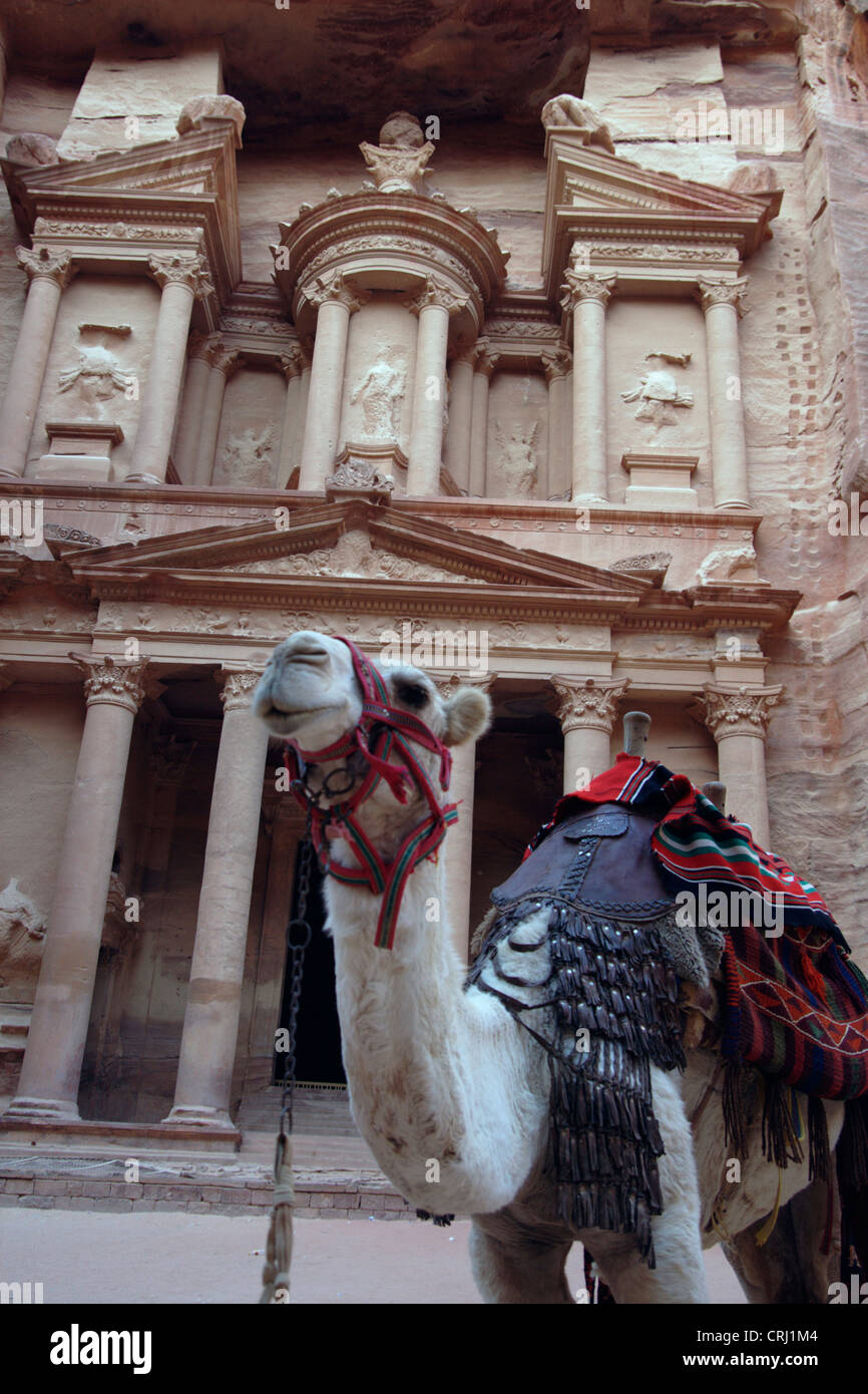 Bactrian camel, two-humped camel (Camelus bactrianus), camel in front of the rock cut tomb called 'treasury' - Stock Image