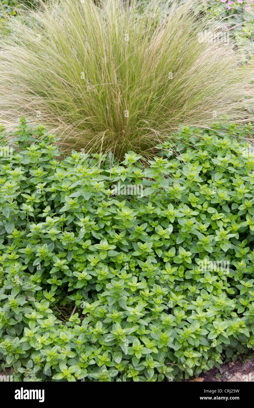 A large Oregano herb plant with ornamental grass - Stock Image