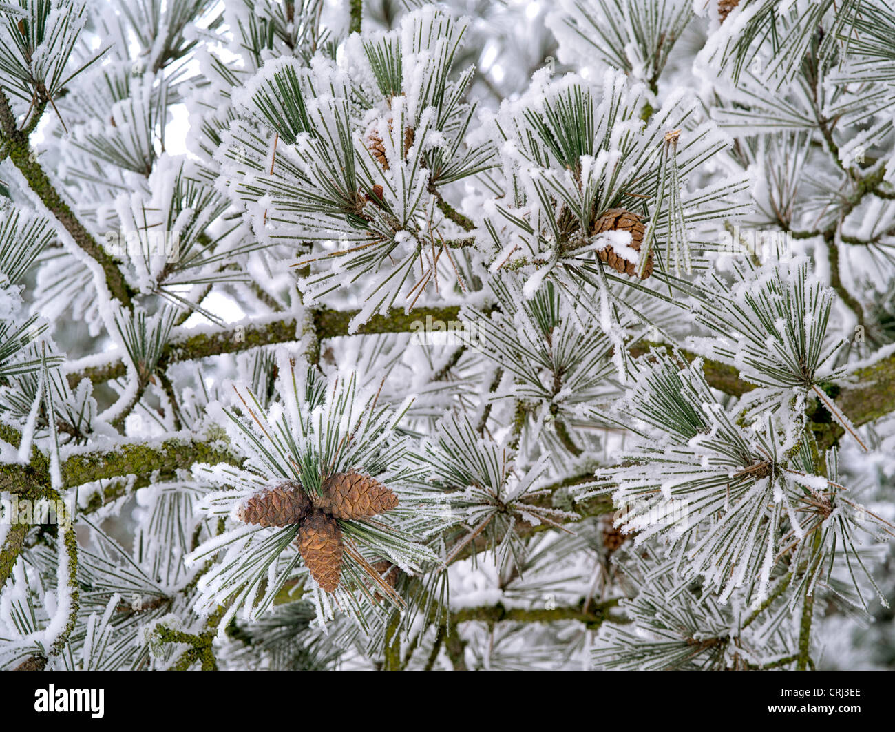 Hoarfrost on pine tree. Oregon - Stock Image
