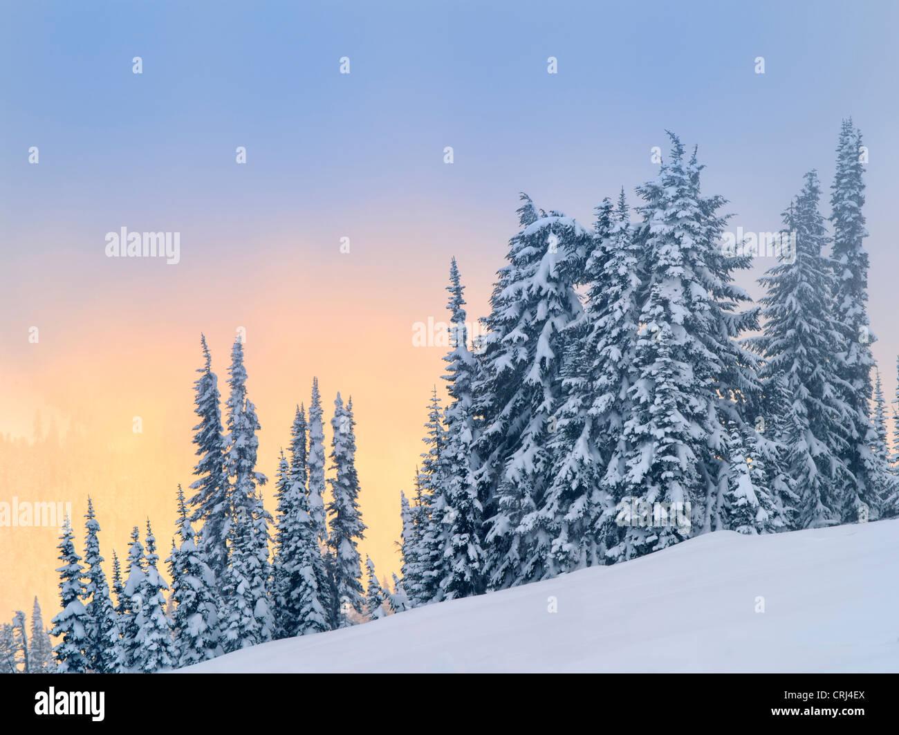Snow on trees with sunset color. Mt. Rainier National Park, Washington - Stock Image