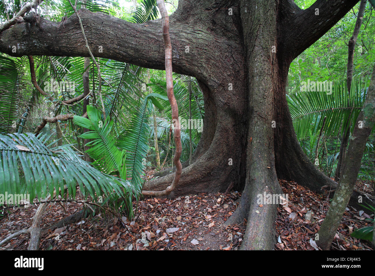 Spiny Cedar Tree (Bombacopsis quinata) in Cabo Blanco Nature Reserve Central Pacific Coast, Costa Rica. - Stock Image