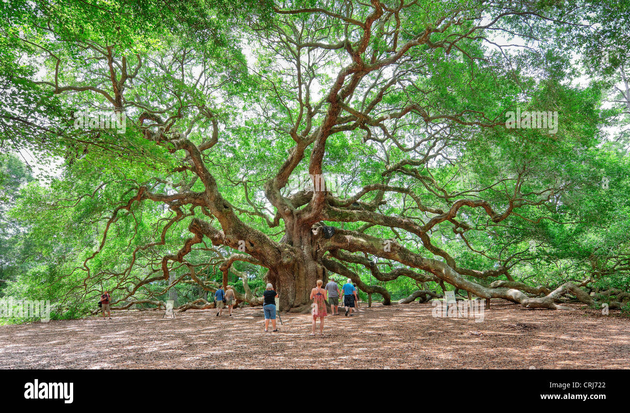 Angel Oak in Charleston SC is a live oak said to be the oldest living organism east of the Mississippi River. - Stock Image