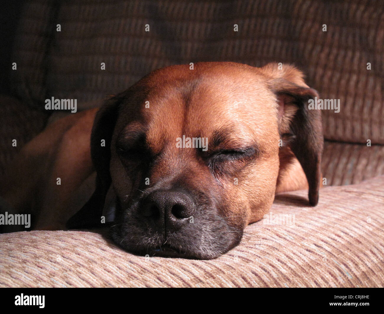Dog laying on chair arm Stock Photo