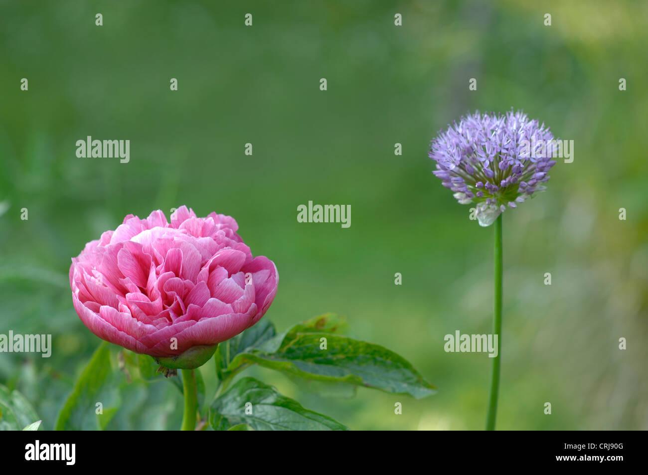 Peony and Allium - Stock Image