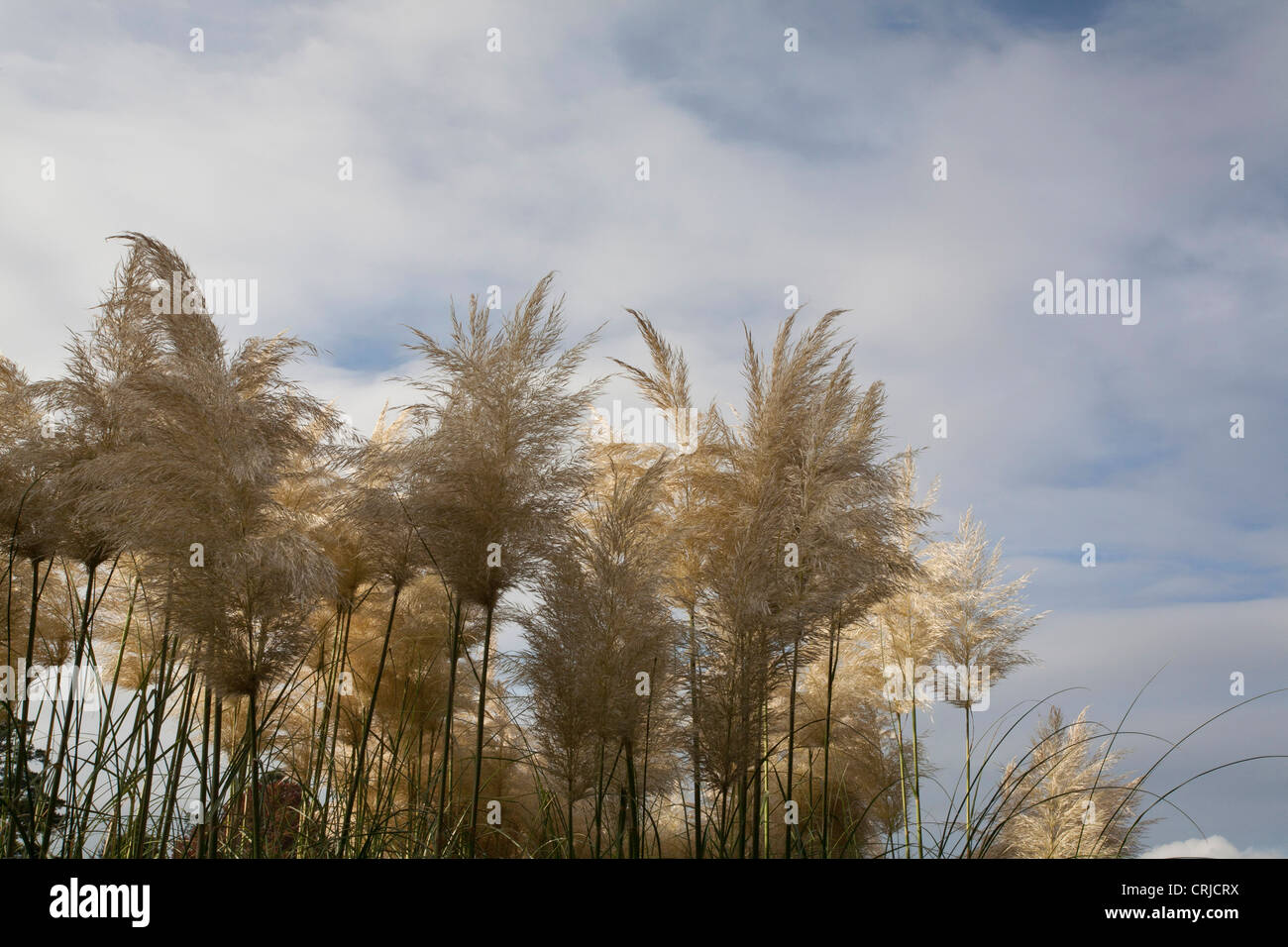 Pampas Grass with blue sky and white fluffy clouds. - Stock Image