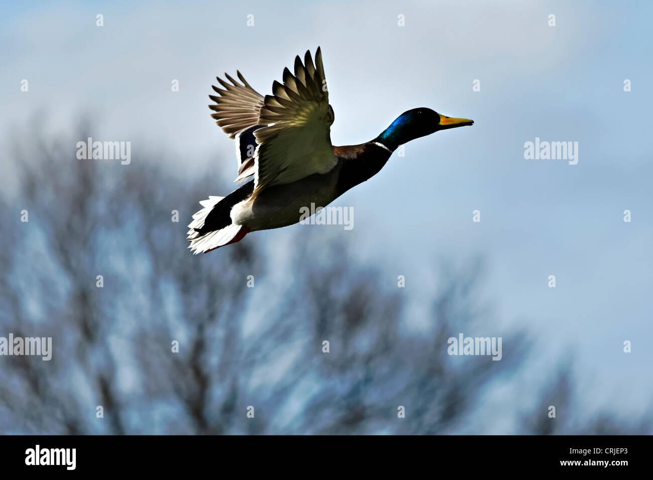 Mallard Duck Anas platyrhynchos in flight, Upper Bavaria Germany - Stock Image