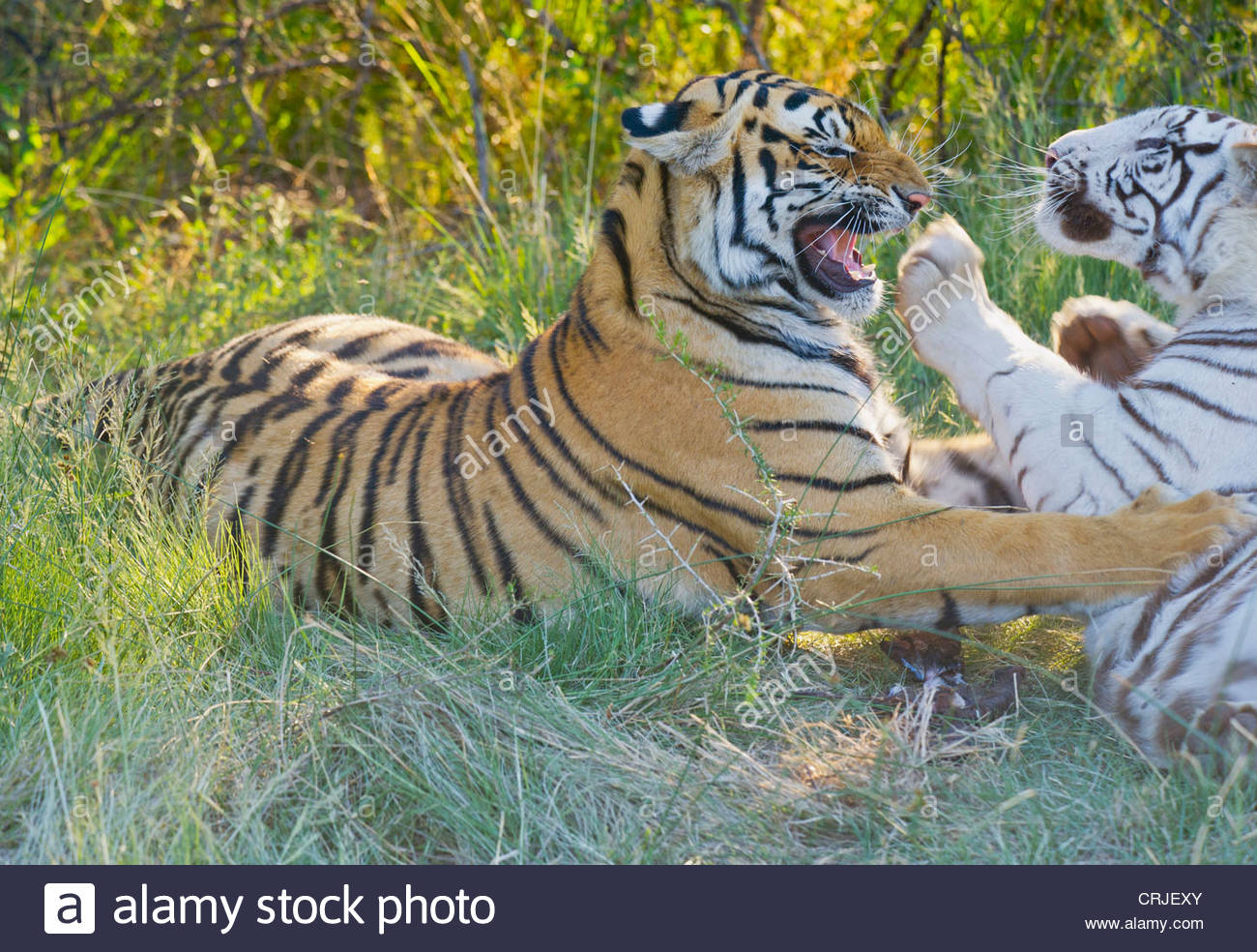 South Africa. Orange and White Tigers Snarling - Stock Image