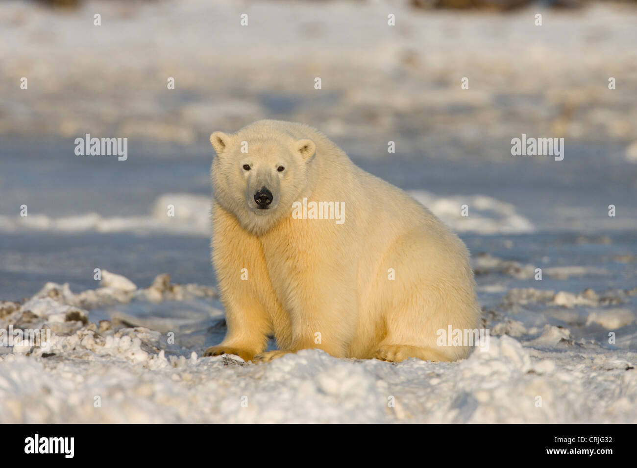 A polar bear sits on the frozen surface of the Beaufort Sea while hunting for prey - Stock Image