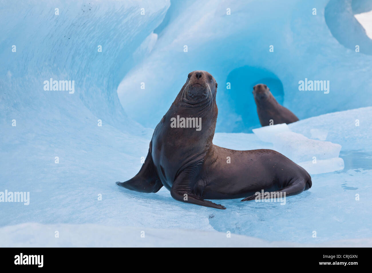 Prince William Sound, Alaska, a pair of playful stellar sea lions wrestle on a blue iceberg near Bull Head. - Stock Image
