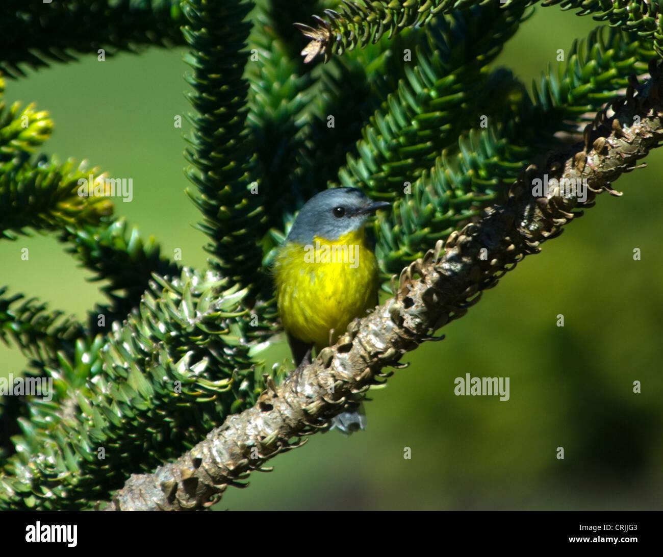 Eastern Yellow Robin (Eopsaltria australis) Stock Photo