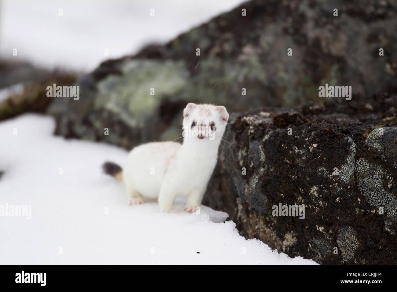 Brooks Range, Arctic National Wildlife Refuge (ANWR), Alaska, a short-tailed weasel darts among rocks - Stock Image
