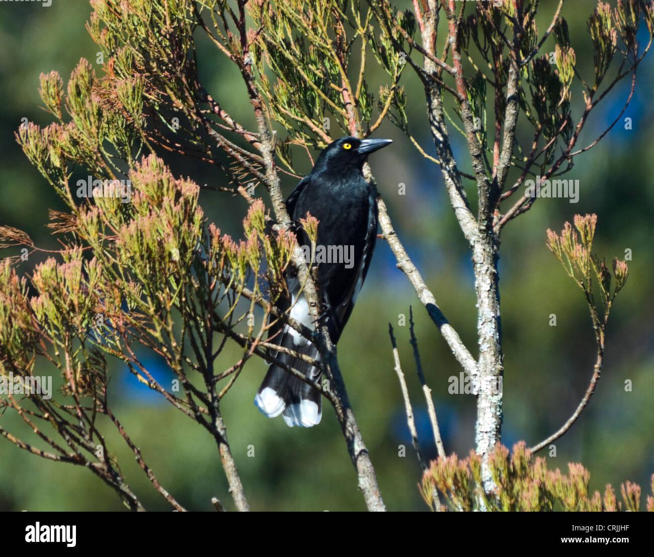 Pied Currawong (Strepera graculina) - Stock Image
