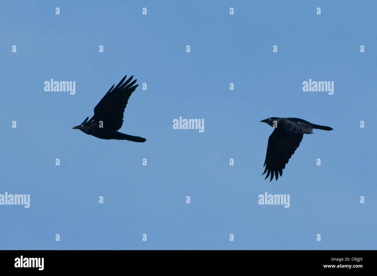 Australian Ravens (Corvus coronoides) - Stock Image