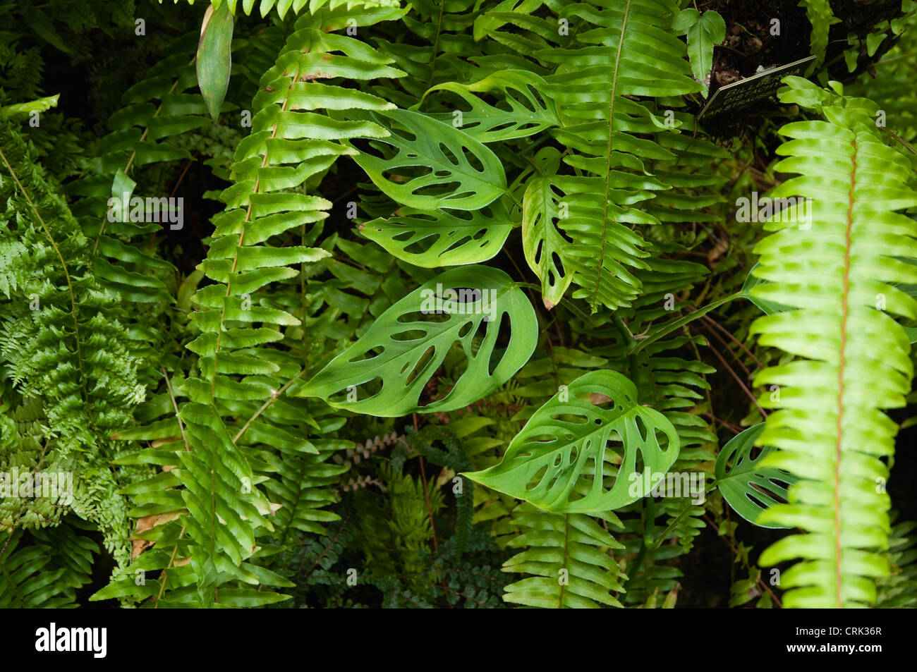 Ferns and leaves, growing in a tropical greenhouse.  UK - Stock Image