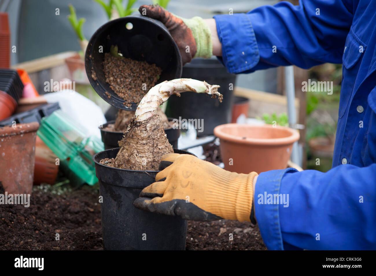 A gardener pouring soil into a pot of CRINUM powellii bulbs Stock Photo
