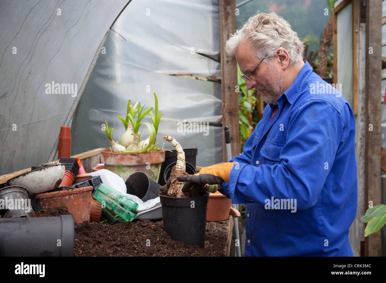 A gardener planting CRINUM powellii bulbs in a black plastic plant pot Stock Photo