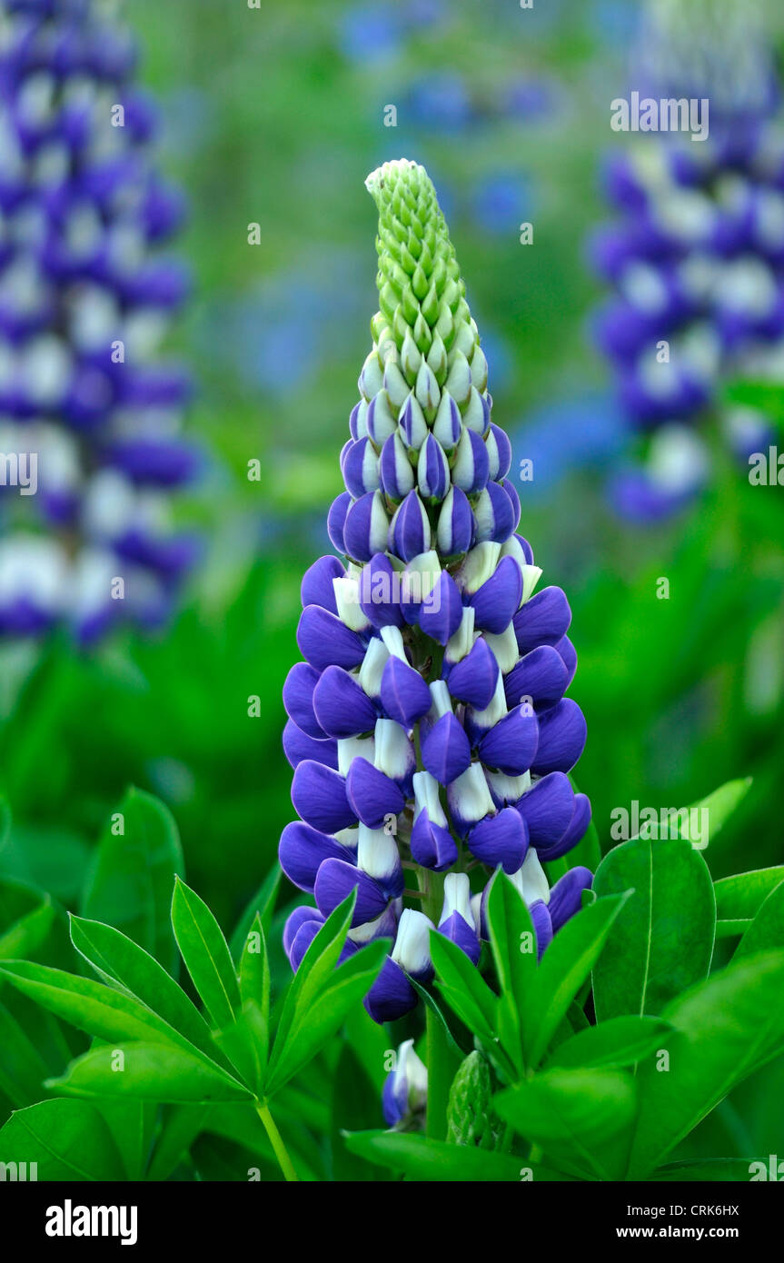 A bluey lupin growing in a cottage garden UK - Stock Image