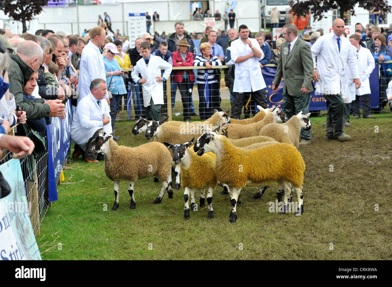 Judging the Scottish Mule classes at the Royal Highland show with a crowd of onlookers. - Stock Image