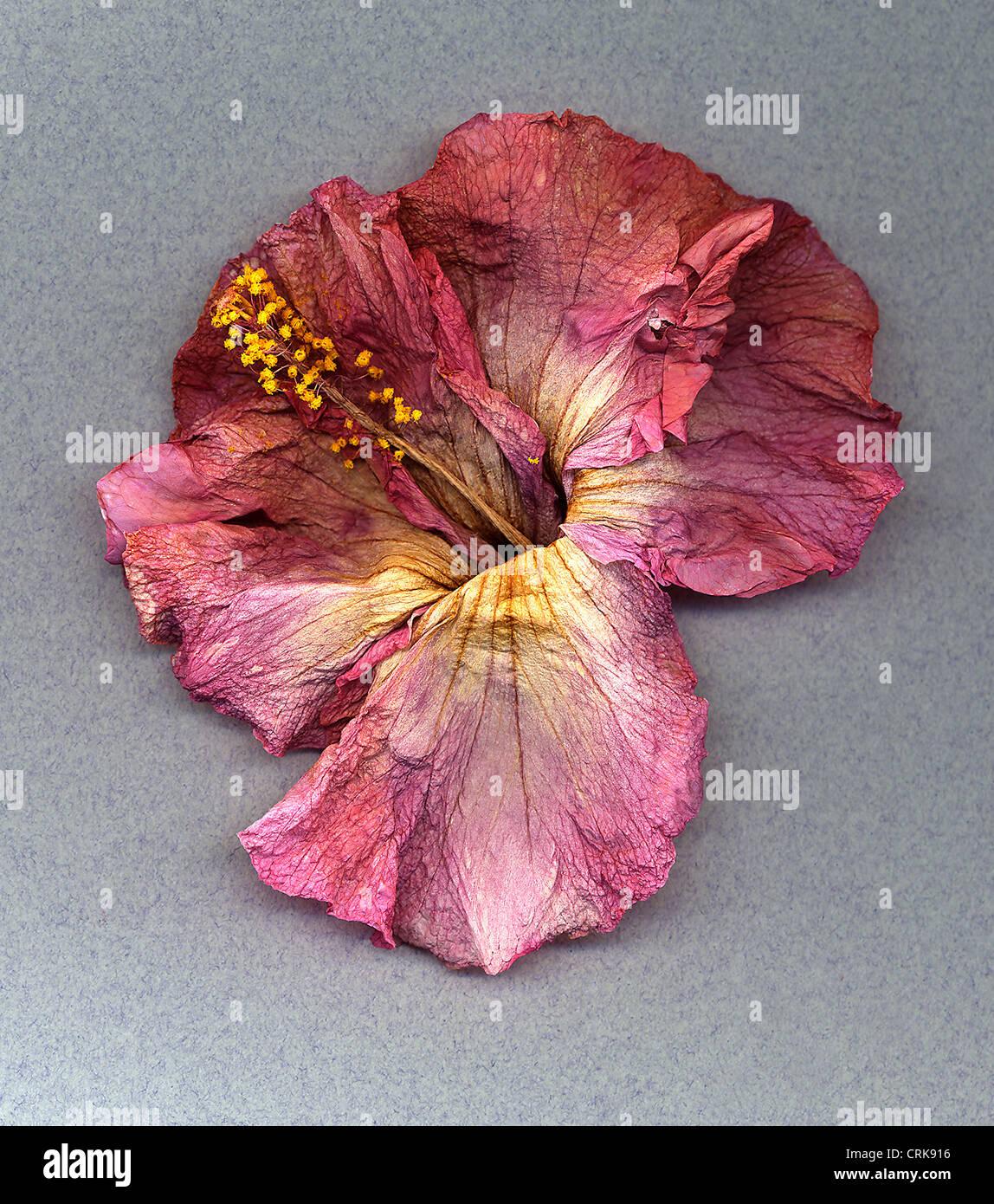 Hibiscus Flower Stock Photo Alamy