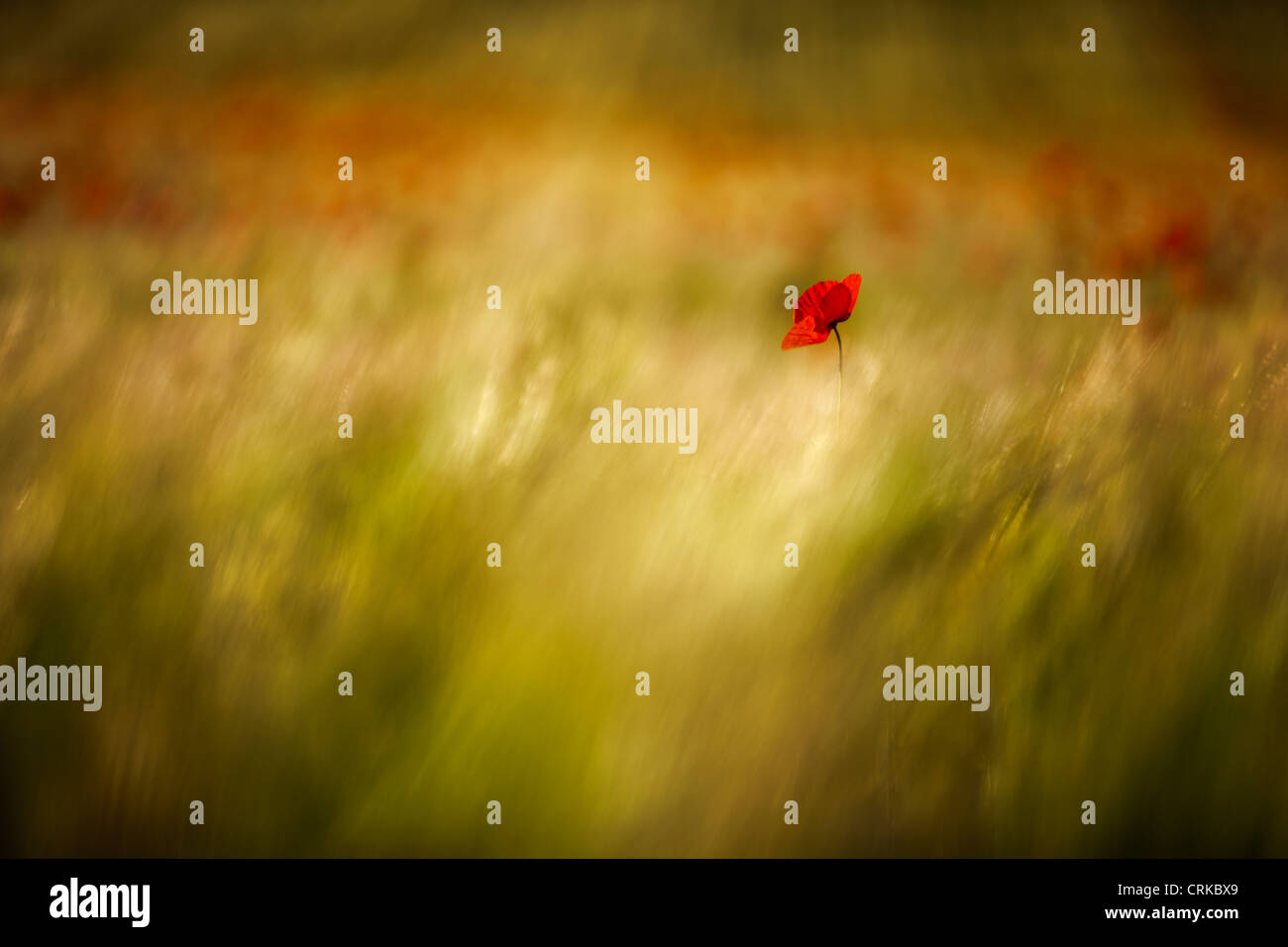 a poppy in a field, nr Norcia, Umbria, Italy Stock Photo