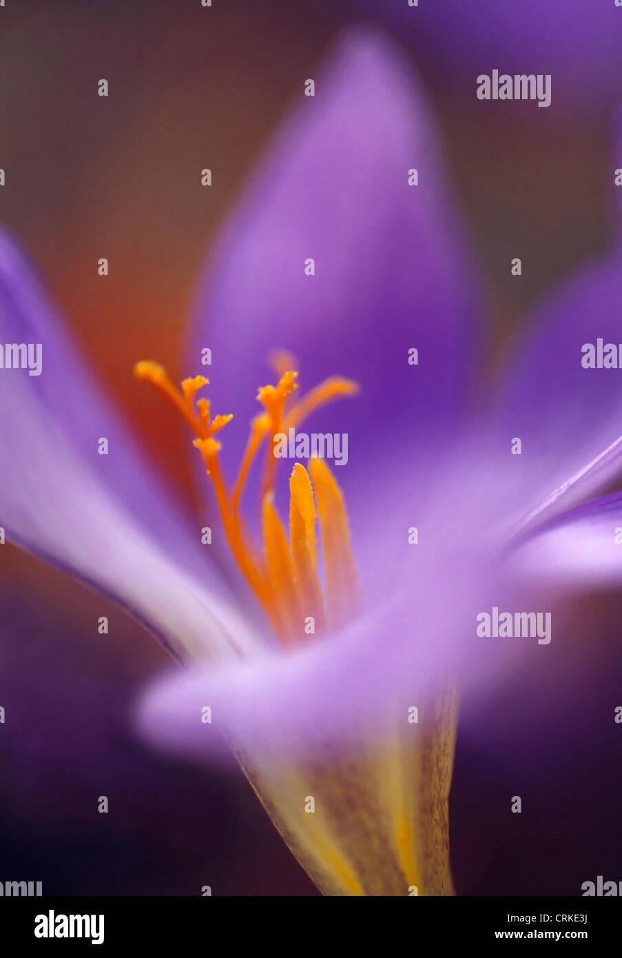 Colchicum autumn crocus close up of purple flower with yellow close up of purple flower with yellow stamen mightylinksfo Choice Image