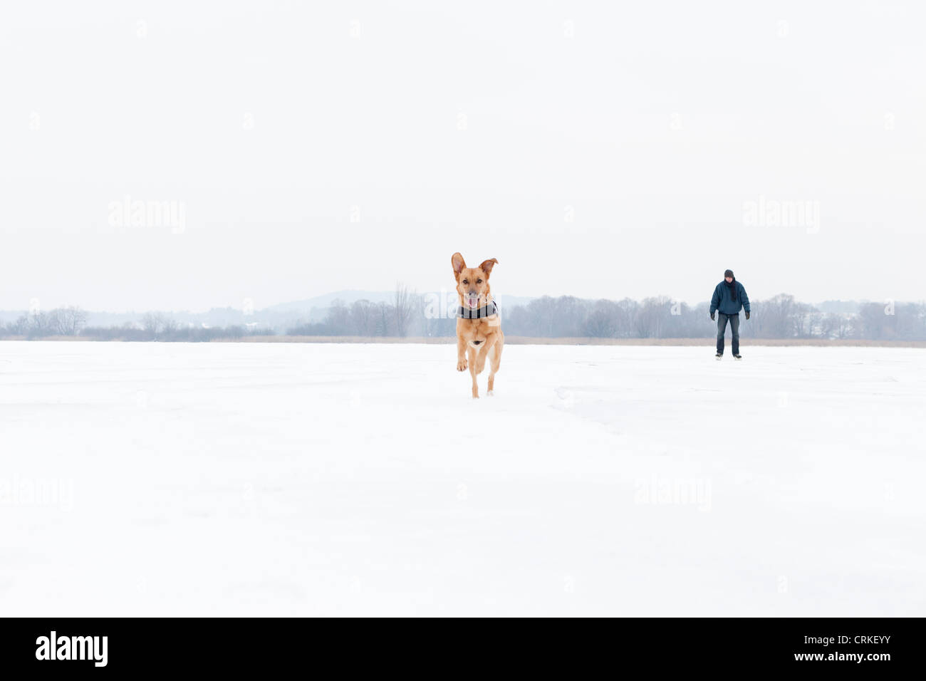 Dog running in snowy field - Stock Image