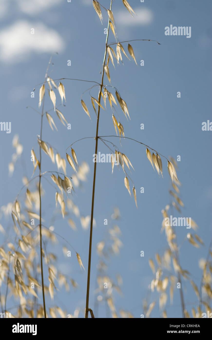 Avena fatua, Oats, Wild oats Stock Photo