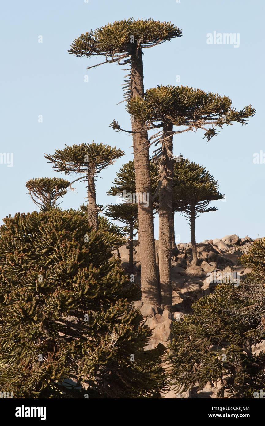 Mature monkey puzzle tree