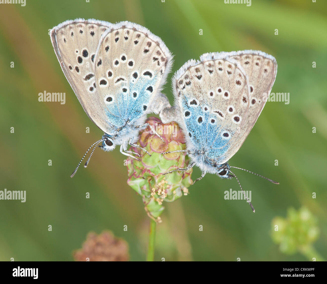 Pair of Large Blue butterflies (Maculinea arion) mating on wild thyme (Thymus polytrichus) on Collard Hill. - Stock Image