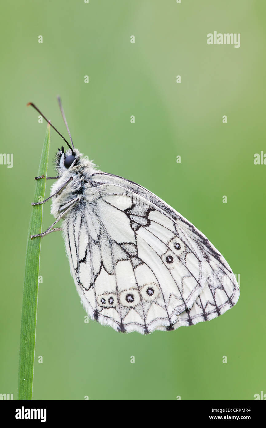 Marble White Butterfly (Melanargia galathea) at rest. - Stock Image