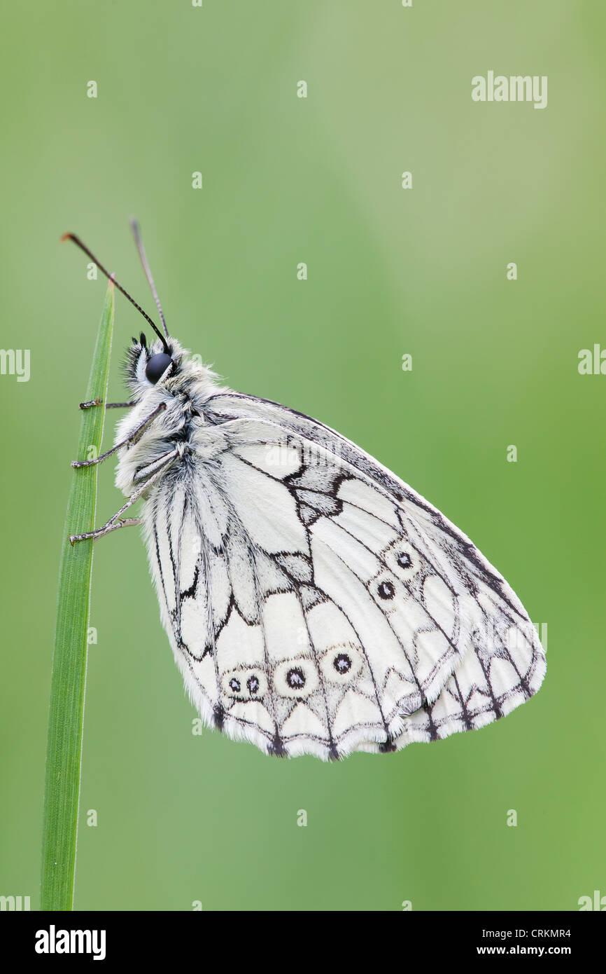 Marble White Butterfly (Melanargia galathea) at rest. - Stock Image