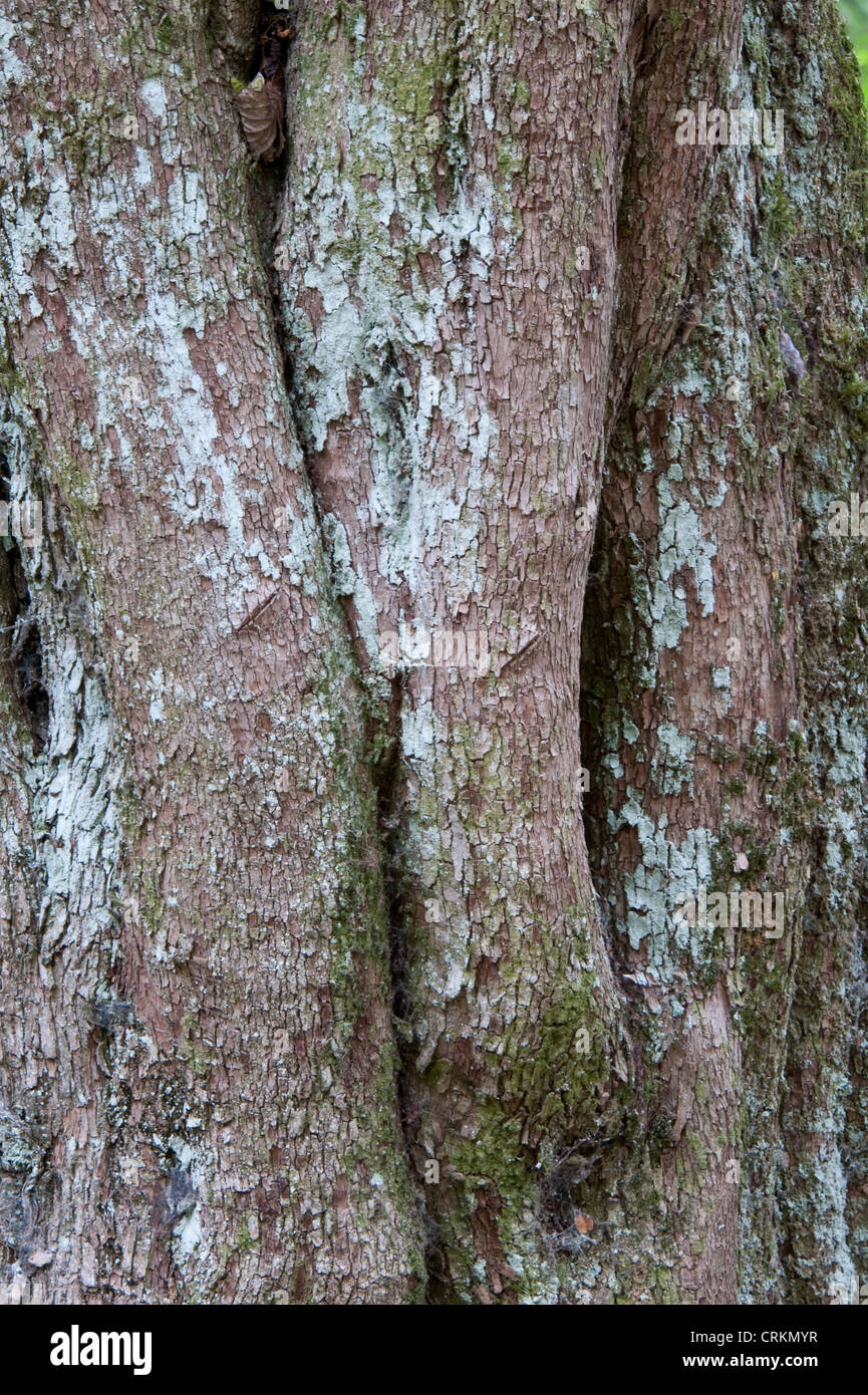 Pitra (Myrceugenia exsucca) close-up of trunk Lago Puelo National Park Prov. Chubut Argentina South America - Stock Image