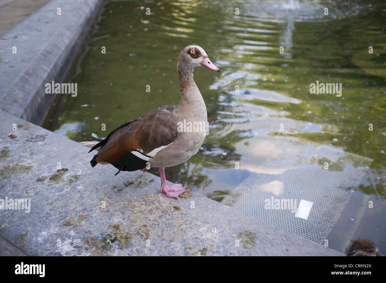 Waterfowl beside Pond Brussels, Belgium - Stock Image