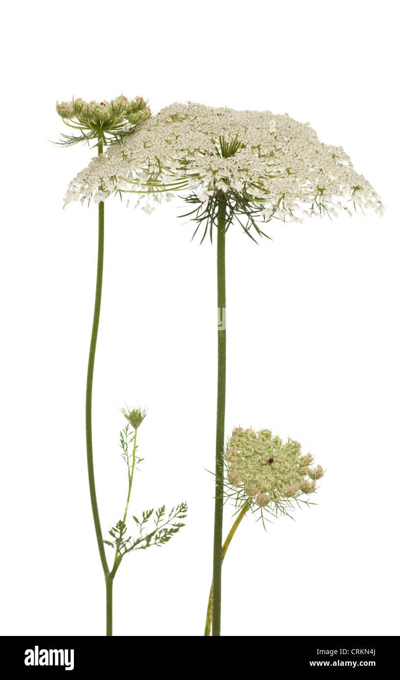 white big flower (Myrrhis Mill) on white background Stock Photo