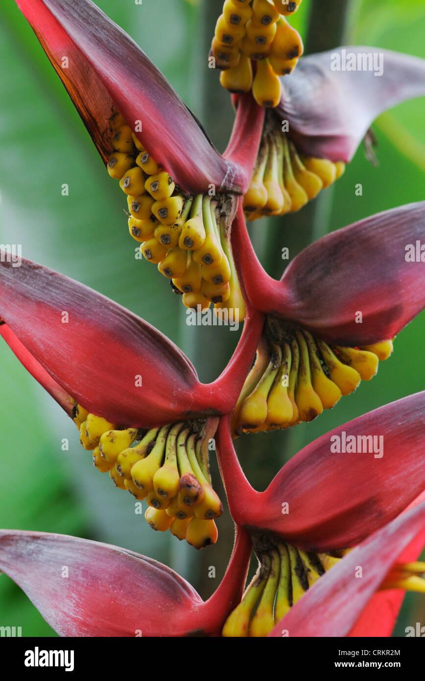 Heliconia trichocarpa, Heliconia - Stock Image