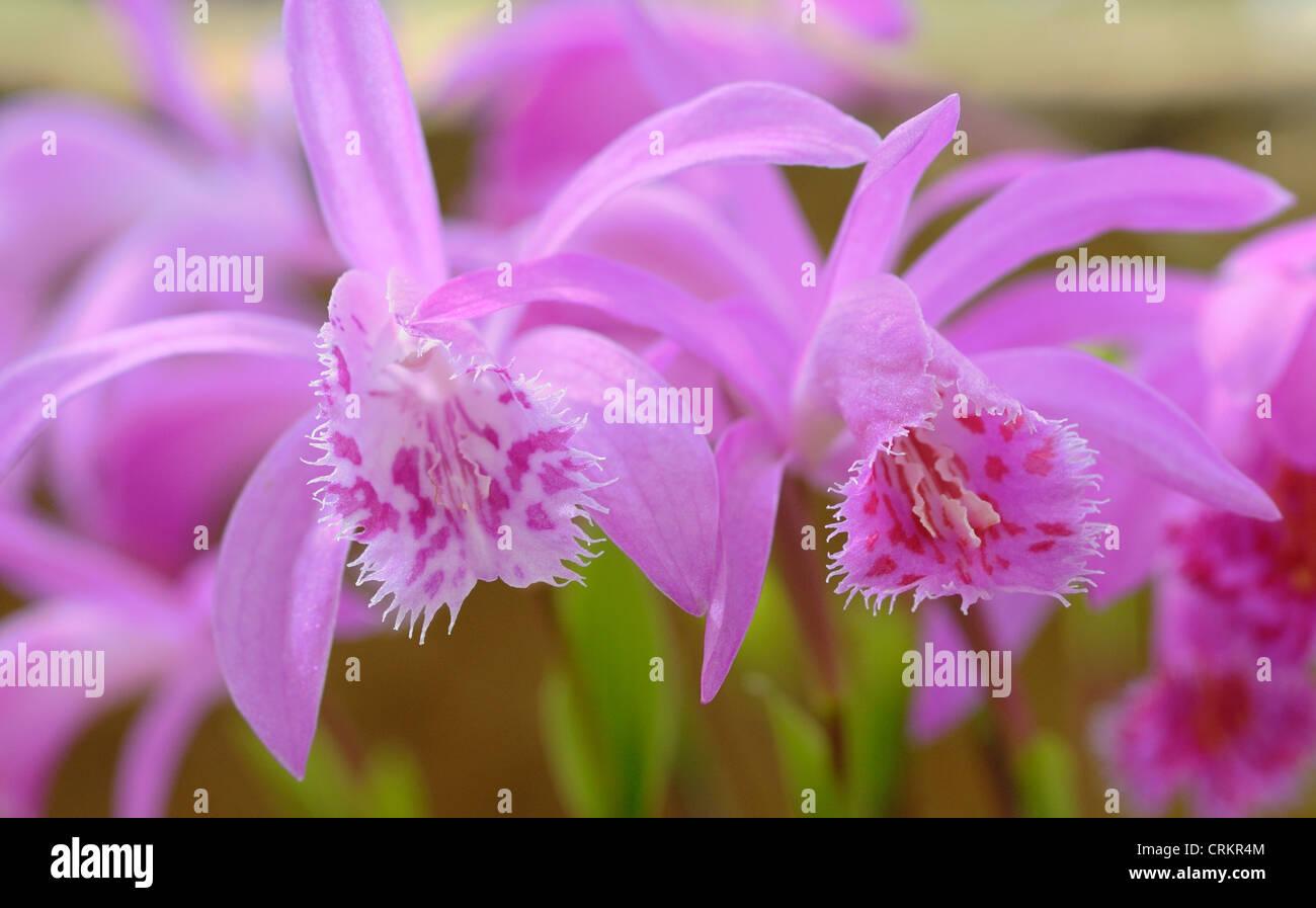 Pleione bulbocodioide 'Vicky', Orchid - Stock Image