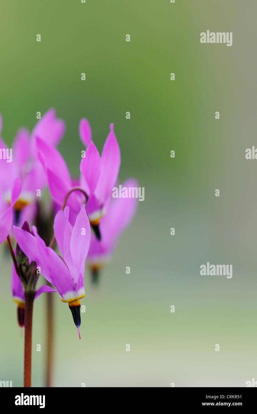 Dodecatheon pulchellum, Shooting Star - Stock Image