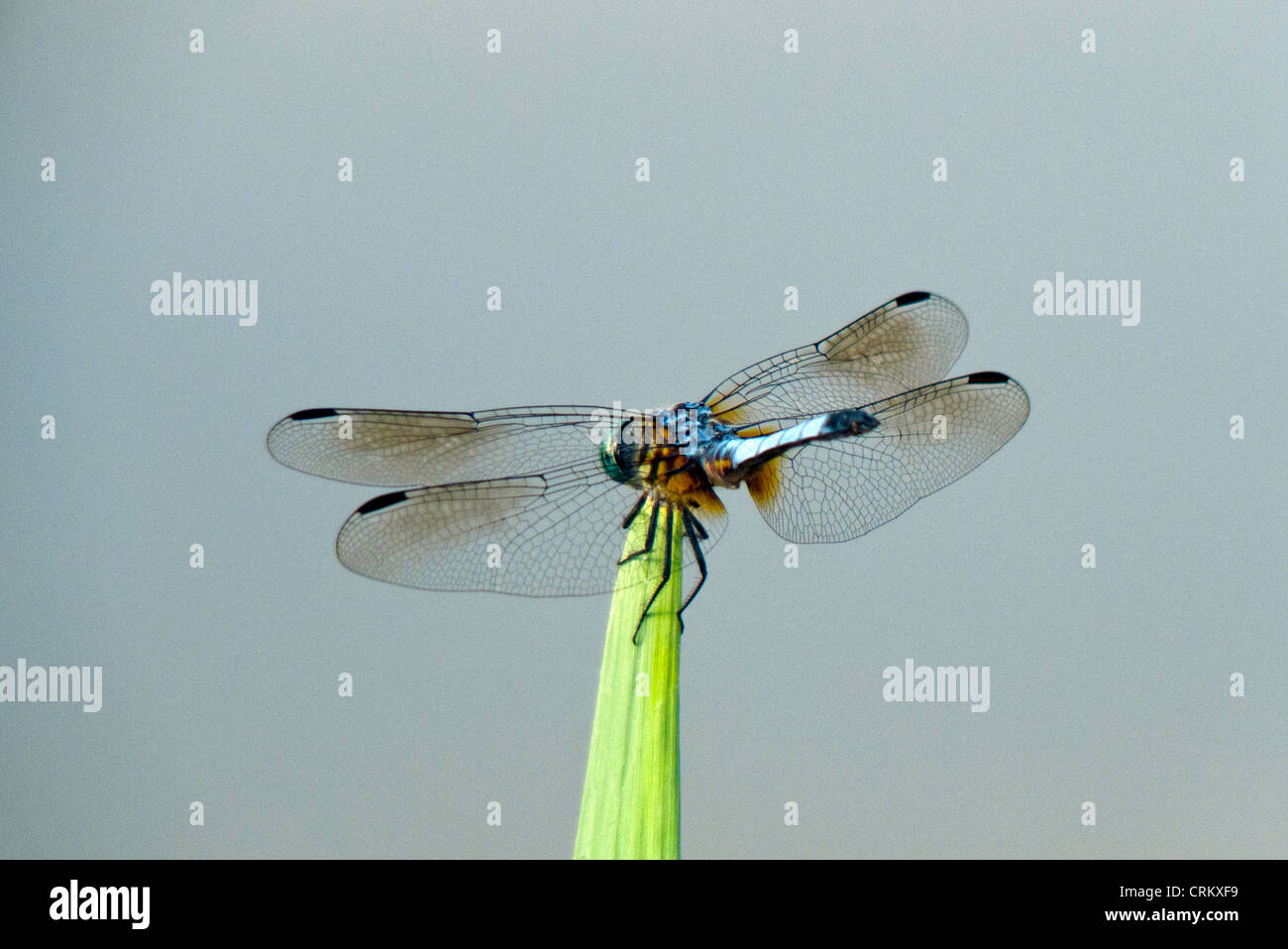 Blue dragonfly perched on blade of grass in a pond, Missouri USA - Stock Image