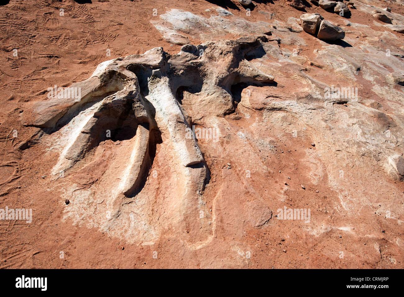 Fossilized dinosaur skeleton or bones detail, near Tuba City, AZ, US - Stock Image