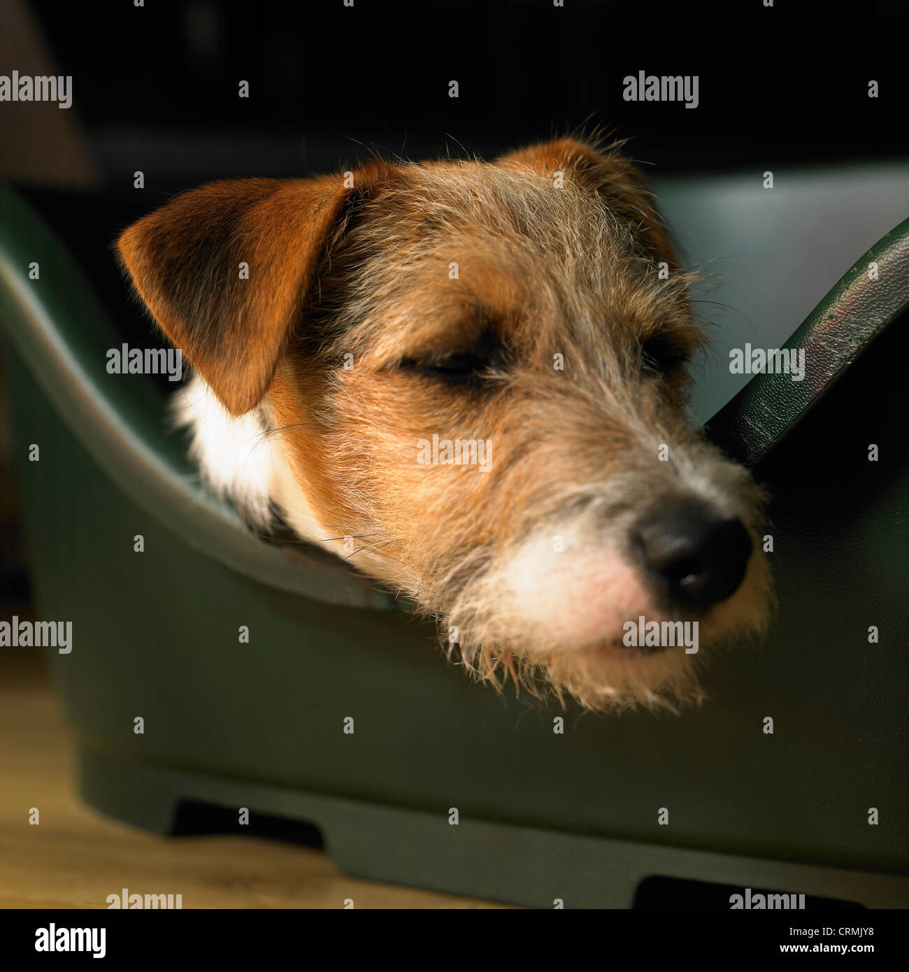 A Parson Russell terrier dog, resting in its basket - Stock Image