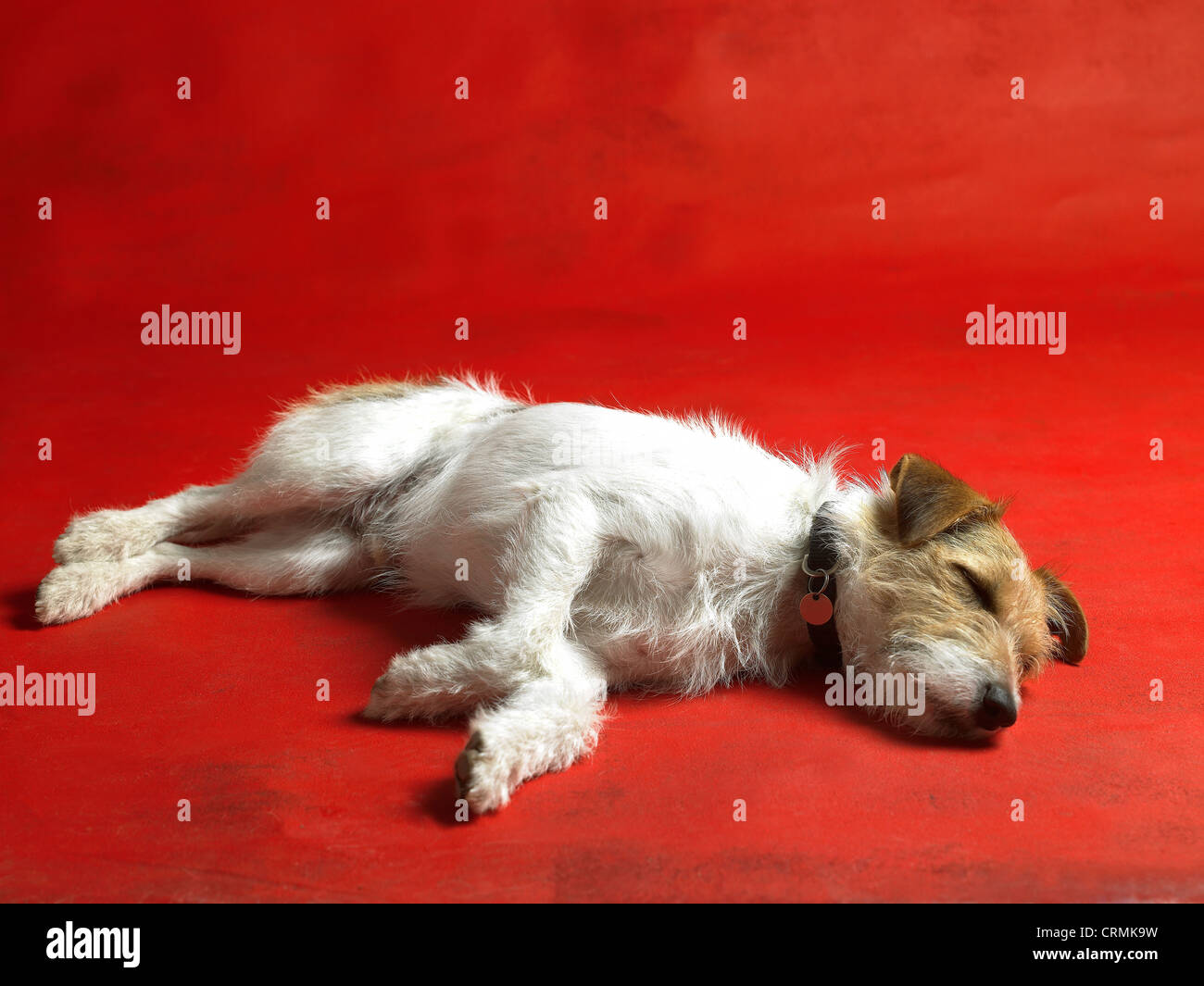 A Parson Russell terrier dog, lying on the floor - Stock Image