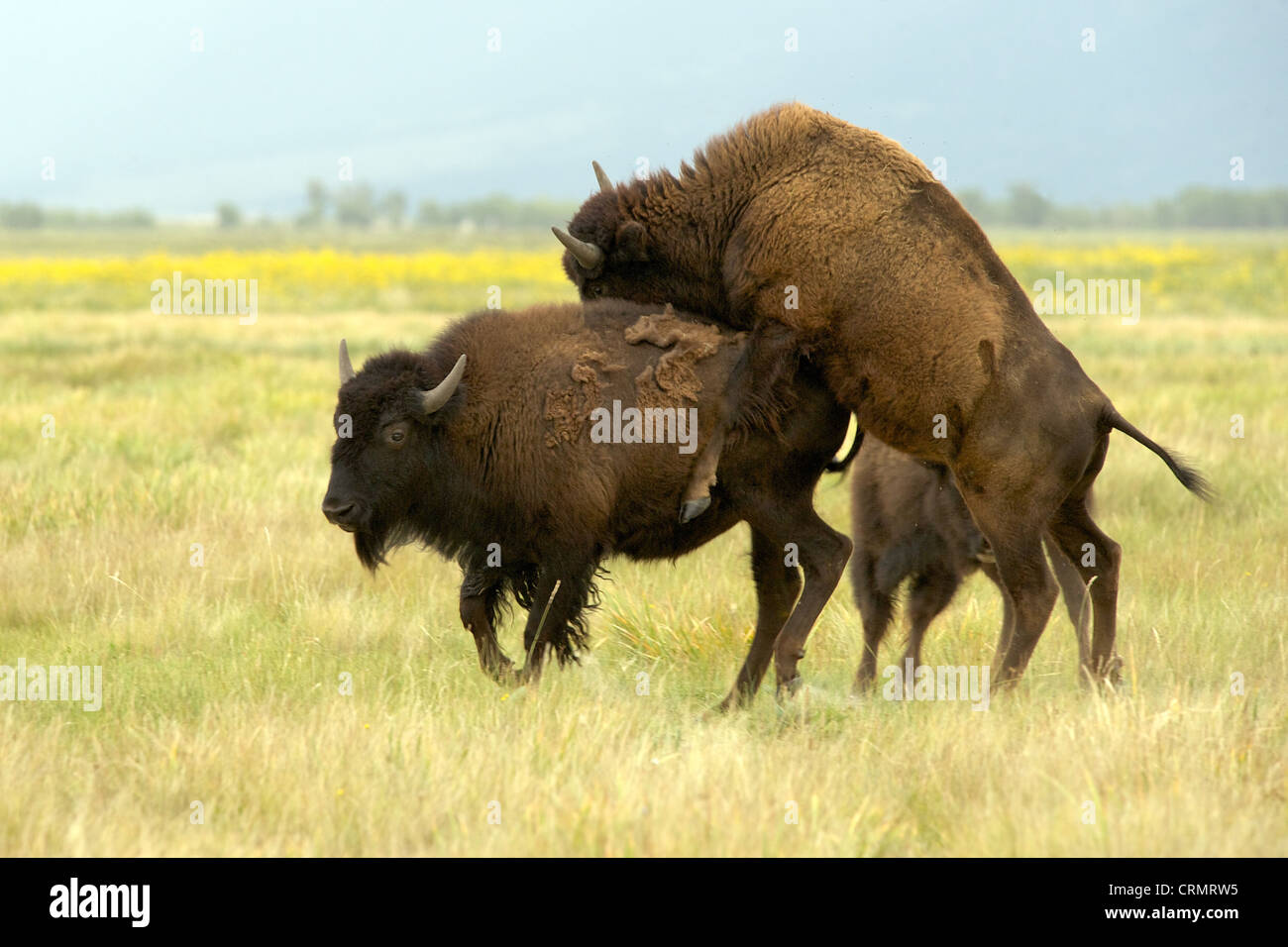 Mating American bison (aka American buffalo) on grasslands on a free range farm, Colorado, US Stock Photo