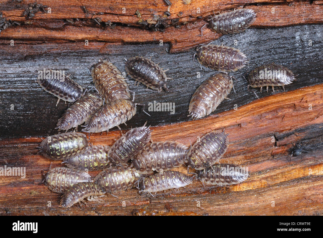 Common Garden Woodlice (Oniscus asellus) feeding on a rotting log - Stock Image
