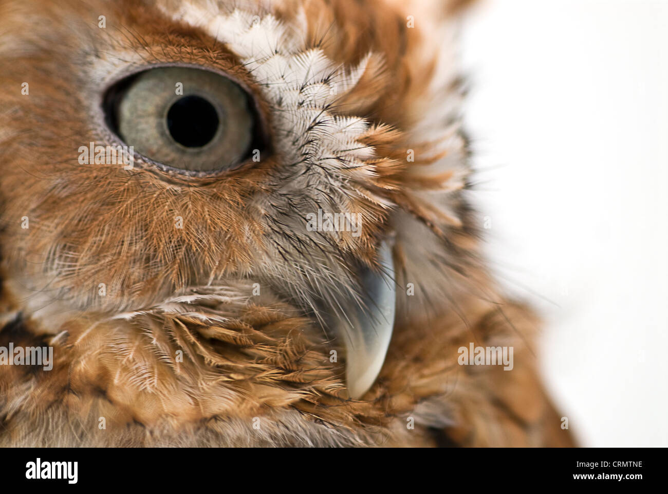 Injured barn owl from nature sanctuary photographed in studio. - Stock Image