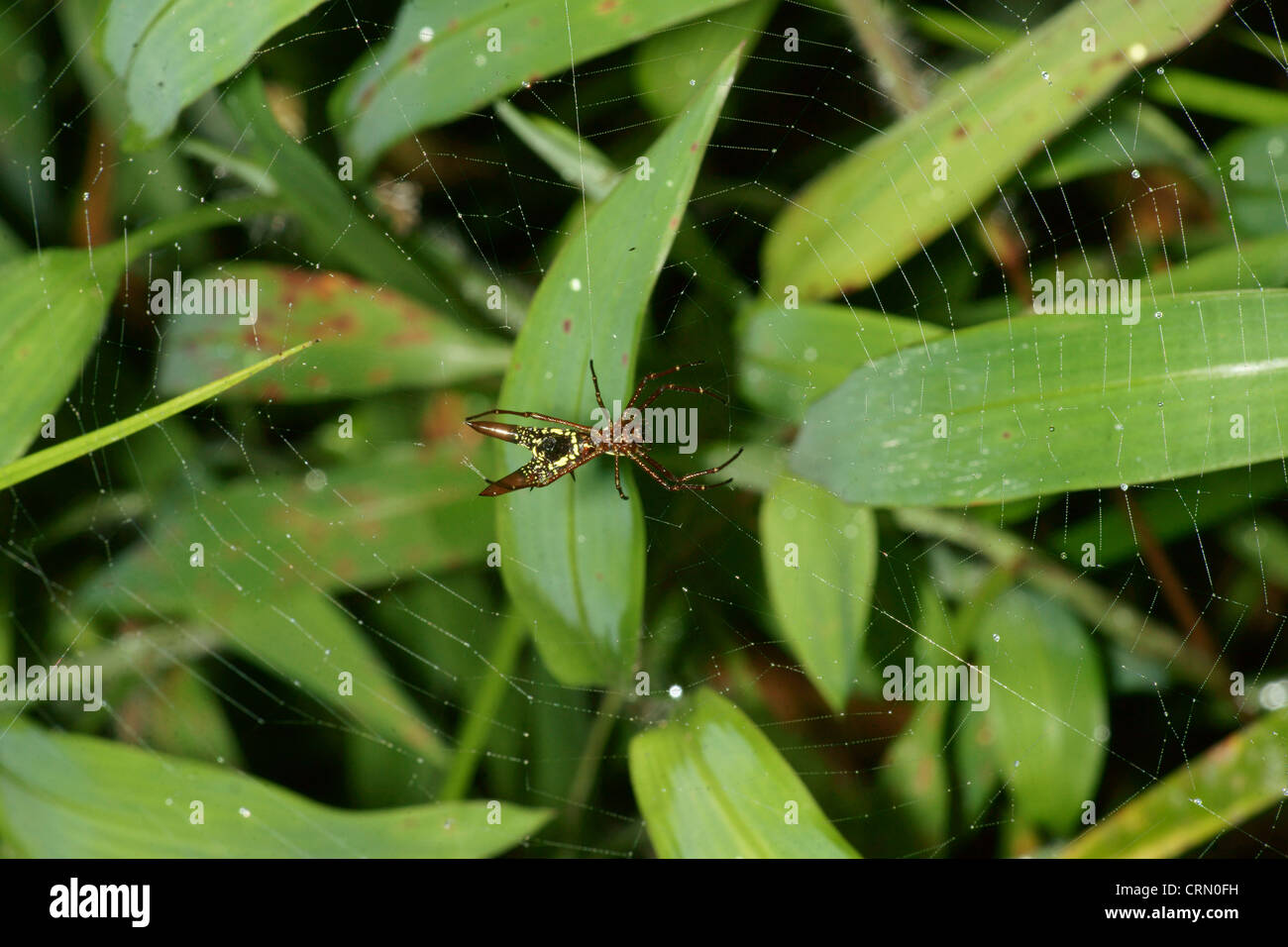 Small orb spider (spiny) waits patiently on it's web. After each rain storm the spiders rebuild their damaged - Stock Image