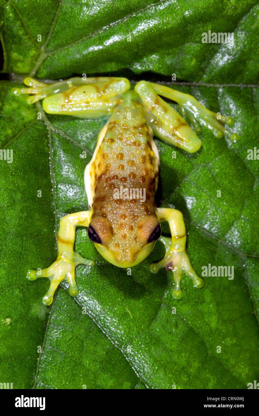 Grunting tree hole frog (Trachycephalus resinifictrix) in the Ecuadorian Amazon - Stock Image