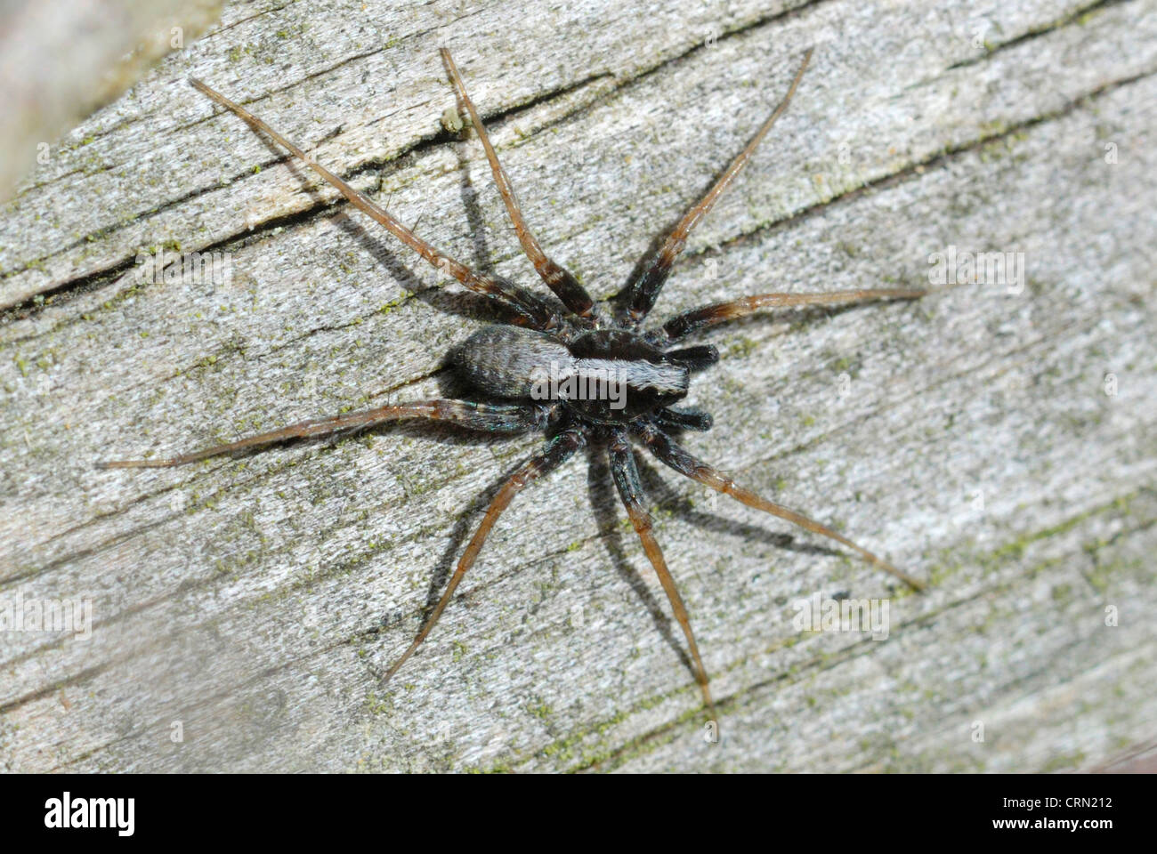 Male Dancing Wolf Spider (Pardosa saltans) on a Surrey heath - Stock Image